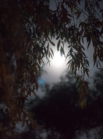Full moon willow